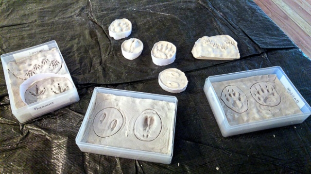 Plaster casts of animal and bird prints