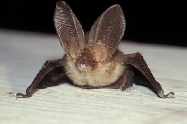 Brown Long-Eared Bat