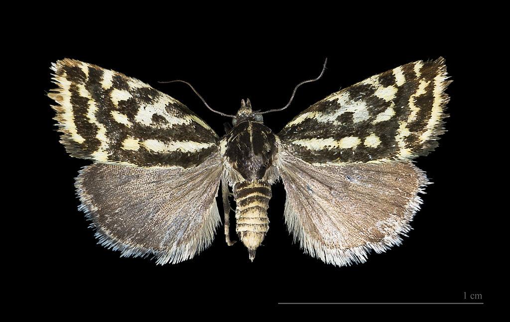 Museum specimen of Spotted Sulphur moth