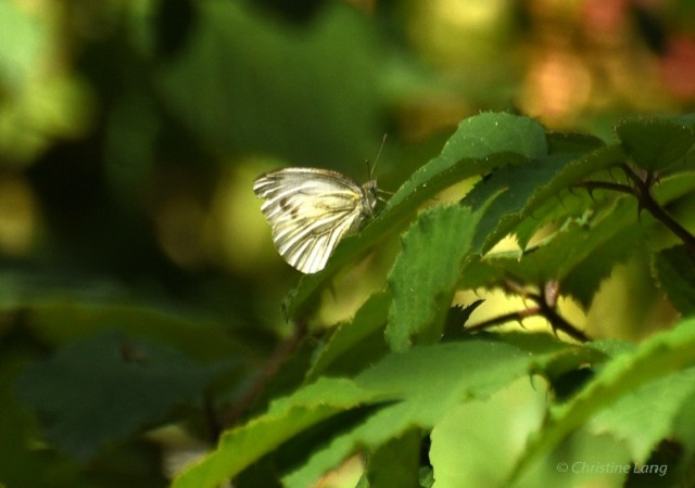 Green Veined White Pieris napiy Butterfly