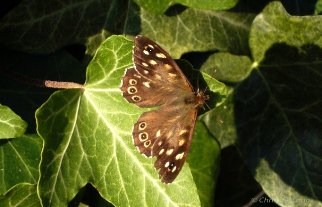 speckled_wood.jpg Butterfly
