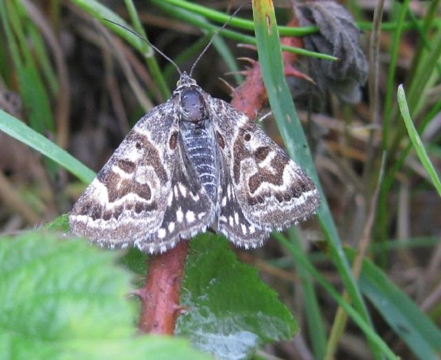 Mother Shipton Moth