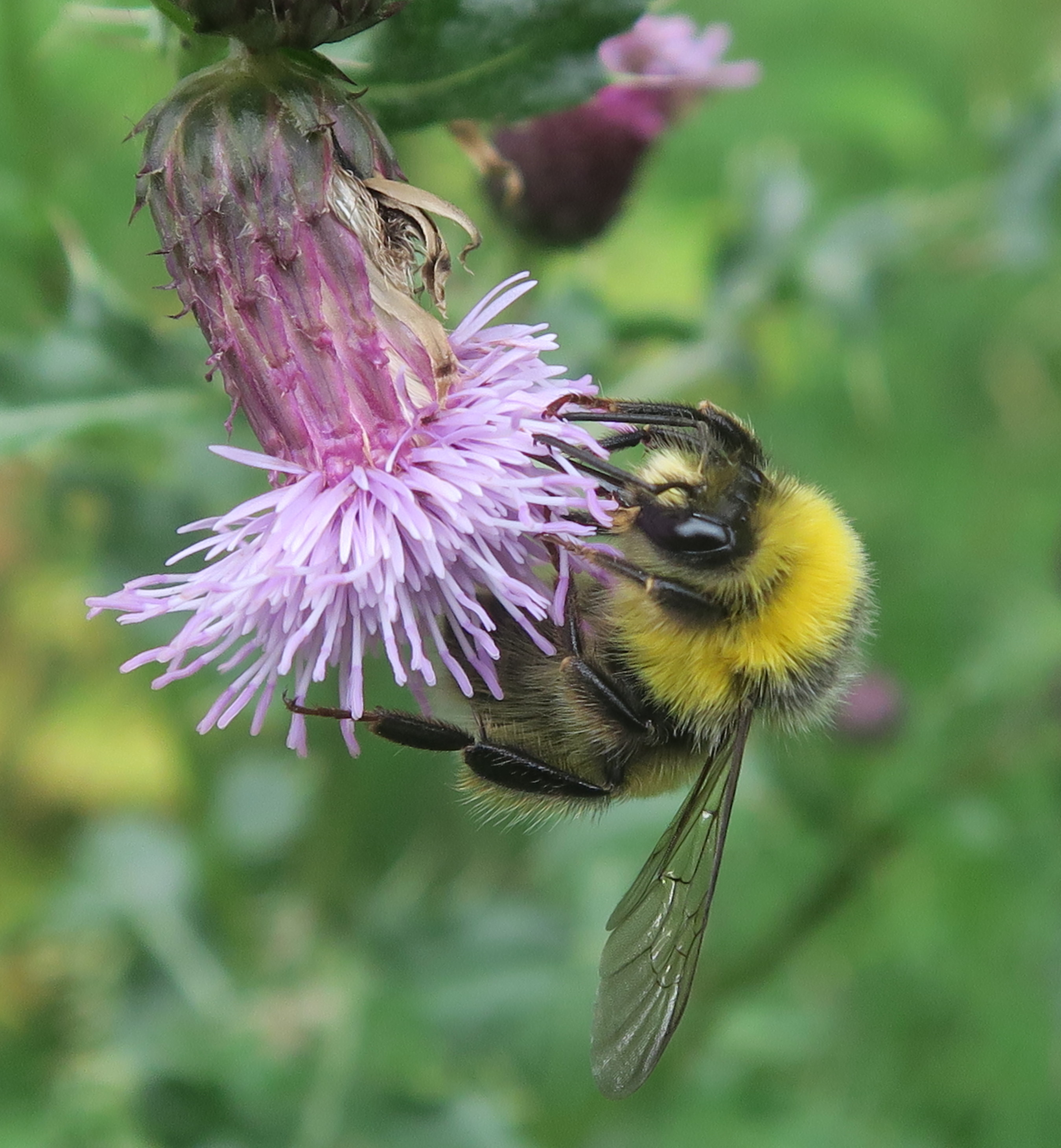 Common Knapweed and Buff Tailed Bumblebee