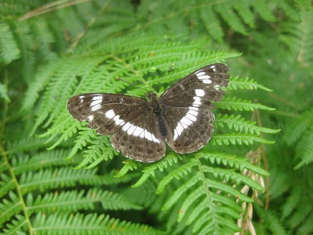 Bracken with White Admiral butterfly
