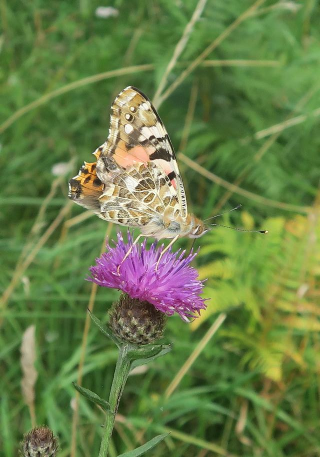 Common Knapweed and Painted Lady butterfly