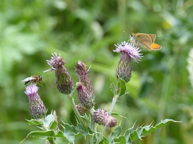 Creeping Thistle with Essex skipper