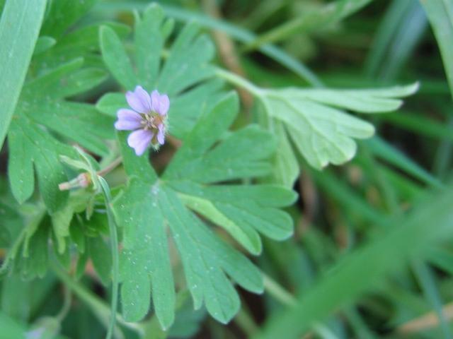 Geranium pusillum
