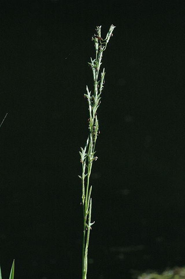 Glyceria fluitans