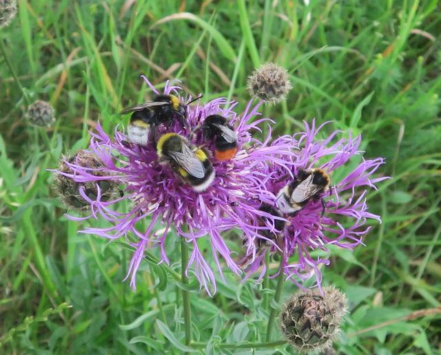 Red tailed and Buff tailed Bumblebees feeed on Greater Knapweed