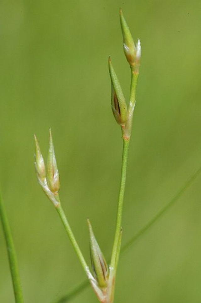 Juncus bufonius