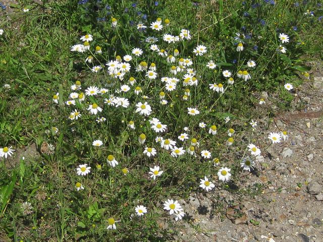 Tripleurospermum inodorum