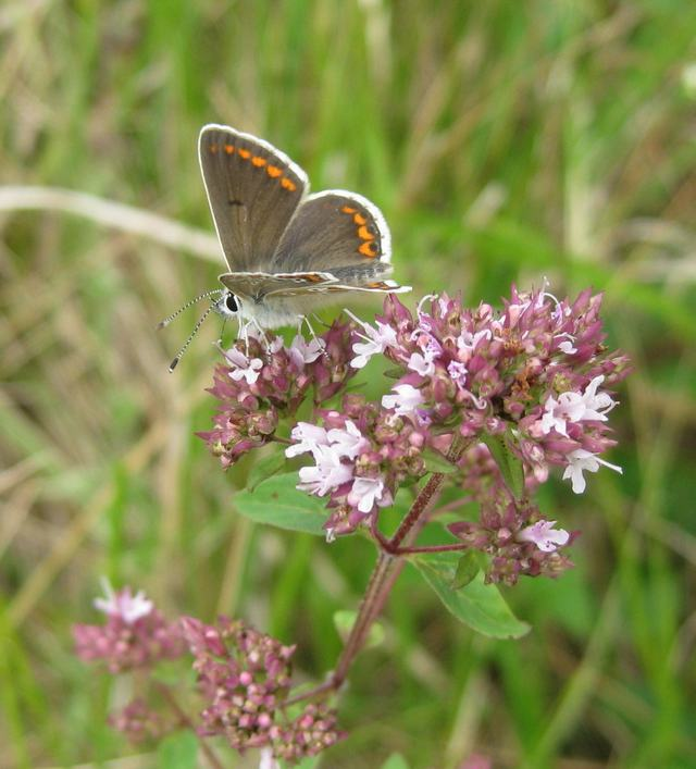 Wild Marjoram with Argus Brown butterfly