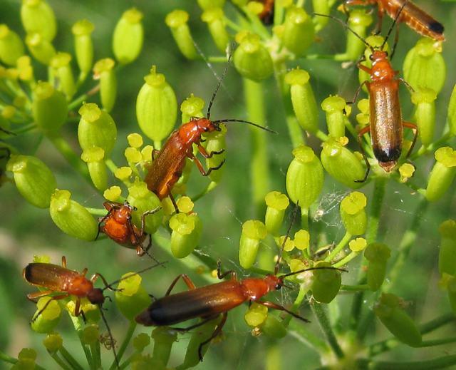 Wild parsnip flower head with net-winged beetles