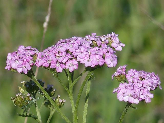 Achillea millefolium (is sometimes pink)