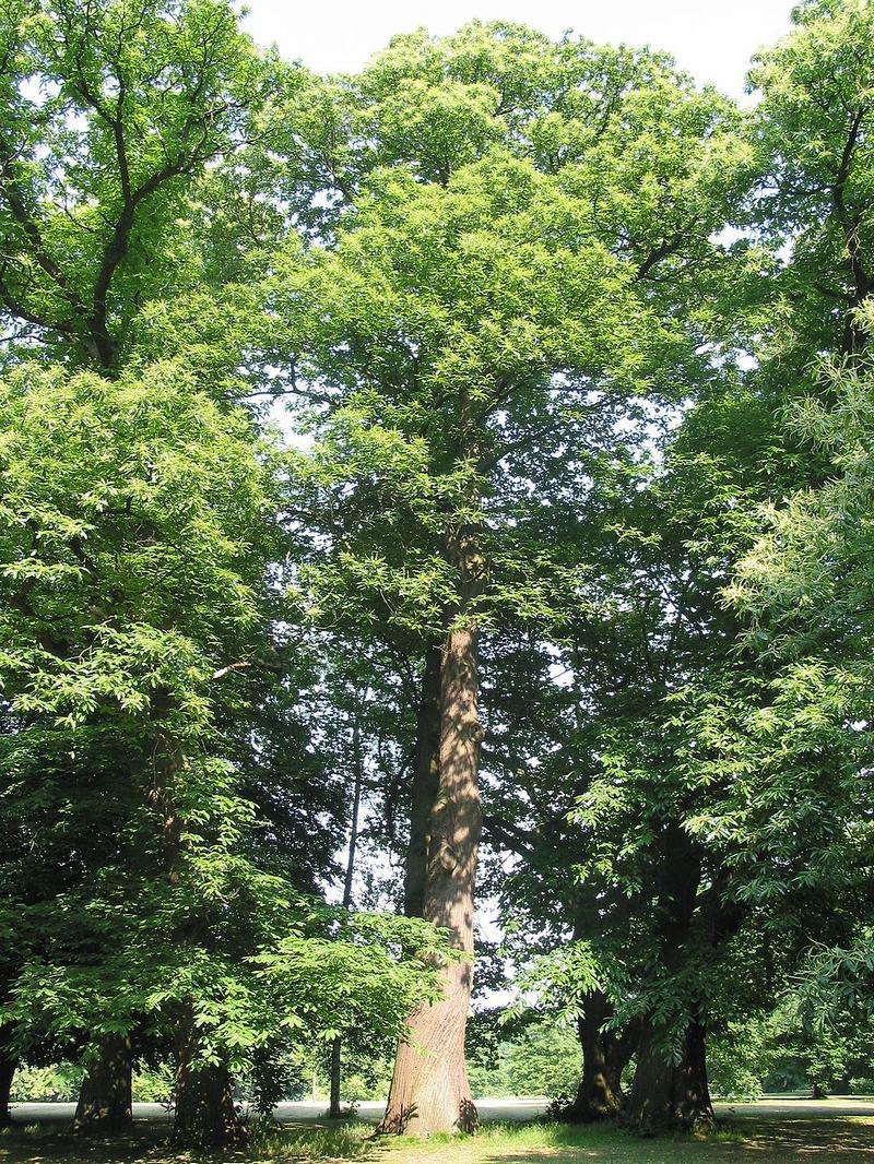 Sweet Cheshnut Tree
